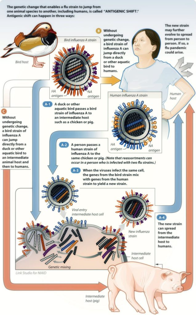 Illustration of influenza antigenic shift